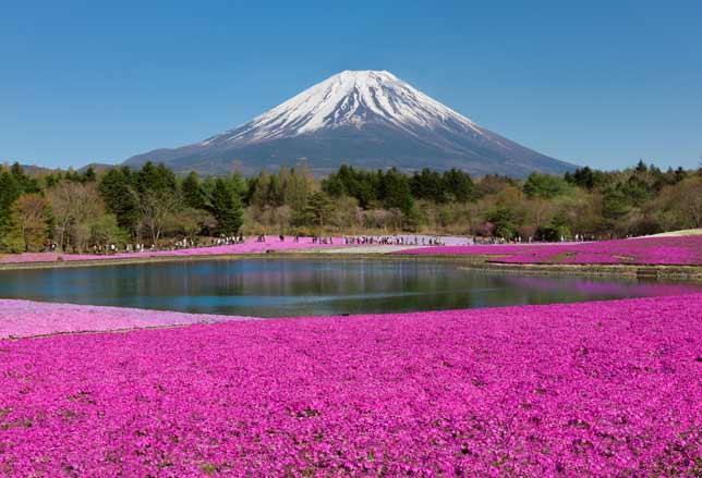 Giappone: un tappeto di fiori rosa per lo Shibazakura Festival