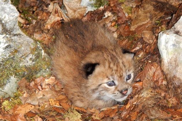 La prima foto di un cucciolo di lince dei Balcani