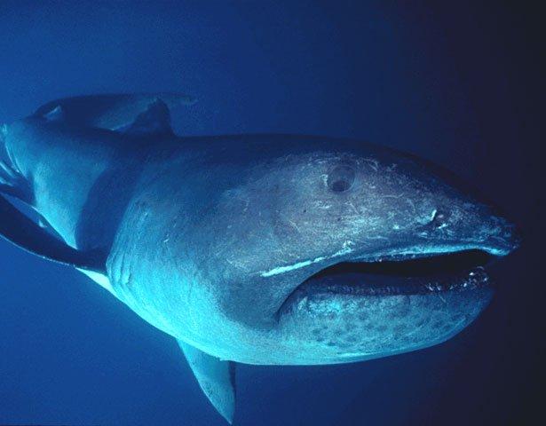 Le rare immagini di uno squalo bocca grande