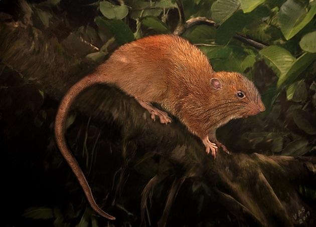 Il ratto gigante delle Isole Salomone