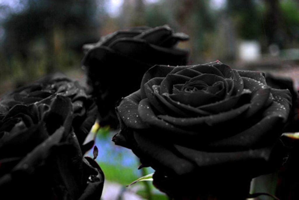 Rosa nera, un fiore che esiste in natura ma che ora è a rischio di estinzione