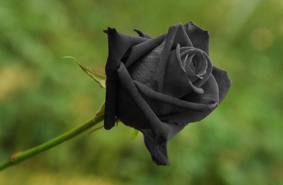 Do Black Roses Grow Naturally