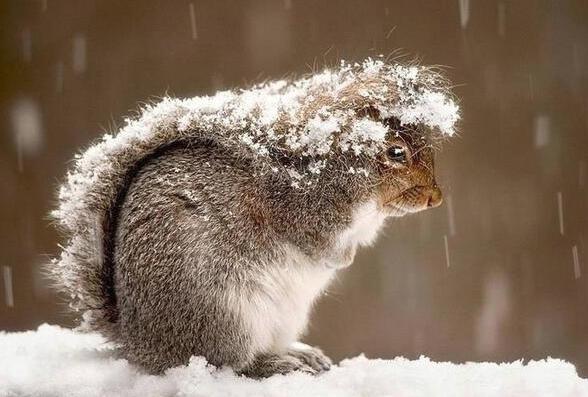 Gli scoiattoli usano la coda come ombrello per proteggersi dalla neve