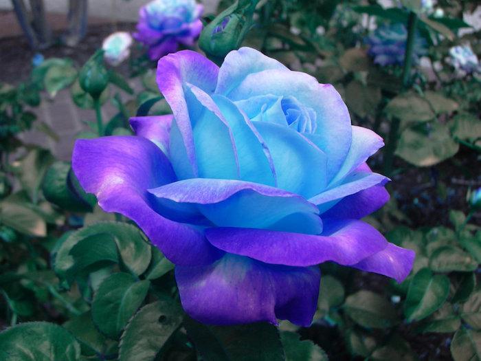 Le 10 rose più belle e popolari del mondo