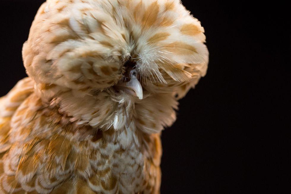 Le galline non sono tutte uguali