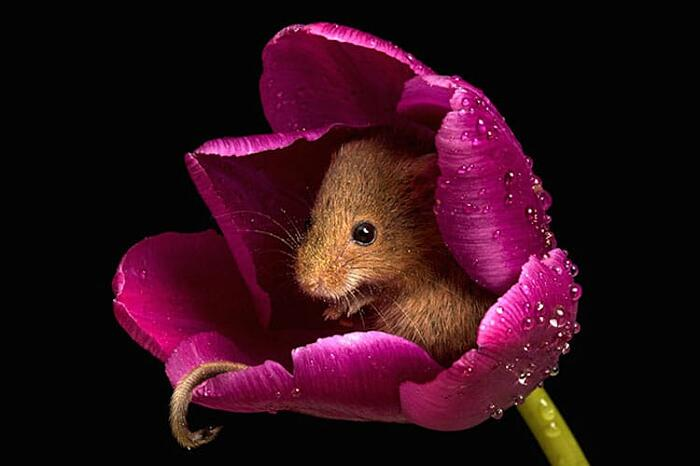 I teneri topolini delle risaie fotografati da Miles Herbert